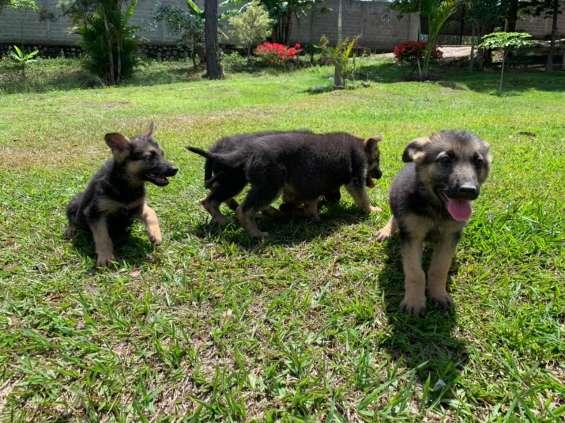 Cachorritas pastor alemán puras