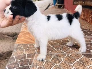 Vendo hermosa terrier mini  todo sus vacunas al dia